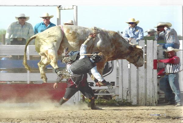 Brahma bucking bulls for sale